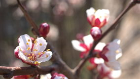 Spring cherry flowers, white flowers and buds stock video