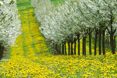 Spring in cherry garden. Blossoming cherry-trees and feild of dandelions Stock Photos