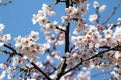 Spring cherry like snow. Where the kite with the emergency tube, cherry forever cave Royalty Free Stock Image