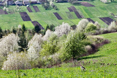 Spring cherry orchard blossom on hills. Cat on meadow Royalty Free Stock Photo