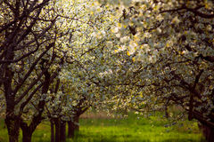 Spring cherry orchard South Bohemia Lhenice Stock Image