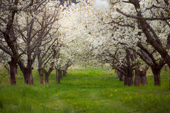Spring cherry orchard South Bohemia Lhenice Royalty Free Stock Photos