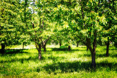 Spring cherry orchard Royalty Free Stock Photos