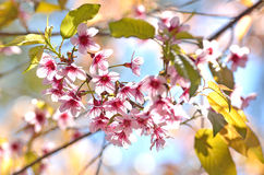 Spring cherry pink blossoms. And sunlight Stock Photo