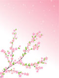 Spring cherry pink and white flowers Royalty Free Stock Photo