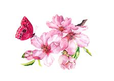 Spring cherry, sakura flowers or pink apple blossom and butterfly. Flourish water color. Spring cherry, sakura flowers or pink apple blossom and butterfly royalty free illustration