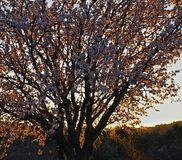 Spring cherry tree. In the afternoon. Croatia royalty free stock photography