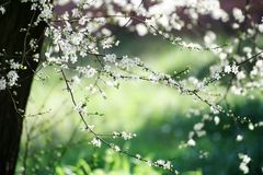 Spring cherry tree Stock Images