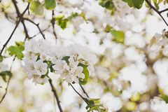 A branch of a flowering cherry Bush 6676. Spring cherry tree in all its glory Stock Images