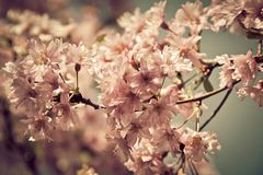 Spring cherry tree in bloom with pink flowers Stock Images