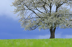 Spring cherry tree in blossom on green meadow under blue sky. Wallpaper in soft, neutral colors with space for your Royalty Free Stock Photography
