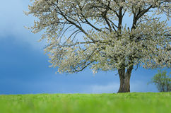 Spring cherry tree in blossom on green meadow under blue sky. Wallpaper in soft, neutral colors with space for your Stock Images