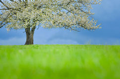 Spring cherry tree in blossom on green meadow under blue sky. Wallpaper in soft, neutral colors with space for your montage. Photo Royalty Free Stock Photography