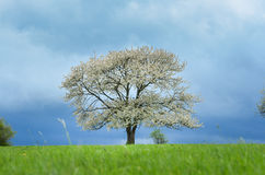 Spring cherry tree in blossom on green meadow under blue sky. Wallpaper in soft, neutral colors with space for your montage. Photo Stock Photo