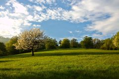 Spring cherry tree. Spring cherry blossom lonely tree in meadow Royalty Free Stock Image