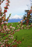 Spring cherry tree blossom Mount Egmont, New Zealand Stock Photos