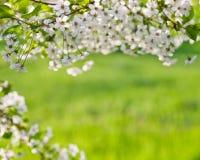 Spring cherry tree blossoms Stock Photos
