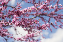 Spring Cherry Tree Blossoms Royalty Free Stock Images