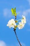Spring cherry tree Stock Photography