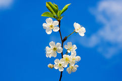Spring cherry tree Royalty Free Stock Images