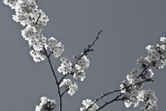 Spring cherry tree branch with white blooming flowers in black and white pattern motif Royalty Free Stock Photos