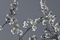 Spring cherry tree branch with white blooming flowers in black and white pattern motif Royalty Free Stock Image