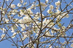 Spring cherry tree branch with white blooming flowers in blue sky background motif pattern Royalty Free Stock Photography