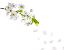 Spring Cherry Tree Flowers And Petals Royalty Free Stock Photography