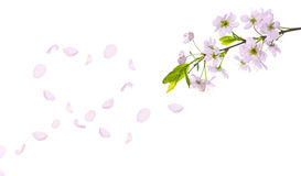 Spring cherry tree petals heart Royalty Free Stock Photo