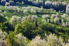 Spring cherry trees. Spring cherry blossom trees in meadow Royalty Free Stock Photos