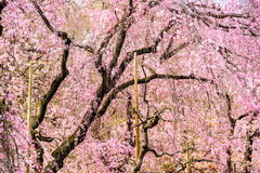 Spring Cherry Trees Royalty Free Stock Images