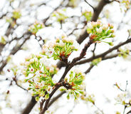 Spring cherry twig Royalty Free Stock Photo