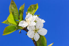 Spring cherry twig Royalty Free Stock Photography