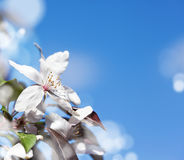 Spring cherry white flower on blue sky background Stock Photography