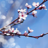 Spring cherry white flower on blue sky background. Stock Photos