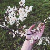 Spring cherry Stock Photos