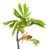 Spring chestnut Stock Photography