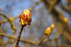 Spring chestnut Royalty Free Stock Photo