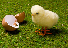 Spring Chick Royalty Free Stock Photography