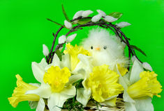 Spring chick in daffodil Royalty Free Stock Images