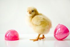 Spring chick Royalty Free Stock Photo