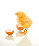 Spring chicken with egg shell Royalty Free Stock Photo
