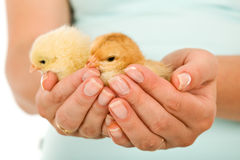 Spring chickens in woman hand Stock Photography