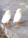 Spring chicks Royalty Free Stock Photo