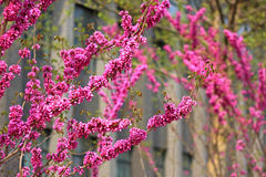 In the spring of  Chinese redbud Stock Image