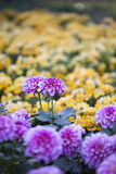 In the spring of the chrysanthemum Royalty Free Stock Images
