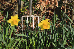 Spring clean in the garden. Two daffodils with a shiny fork - landscape Royalty Free Stock Photos