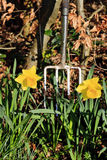 Spring clean in the garden - portrait. Two daffodils with a shiny fork - portrait Stock Images