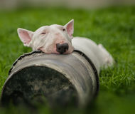 Spring cleaning. White english bull terrier in the garden Royalty Free Stock Photo