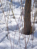 Spring is close. Willow with budded twigs stuck in snow, at the end of february Royalty Free Stock Images